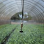 A sprinkler irrigates blueberry seedlings